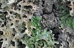 Lung Lichen, Tree lungwort (Lobaria pulmonaria)